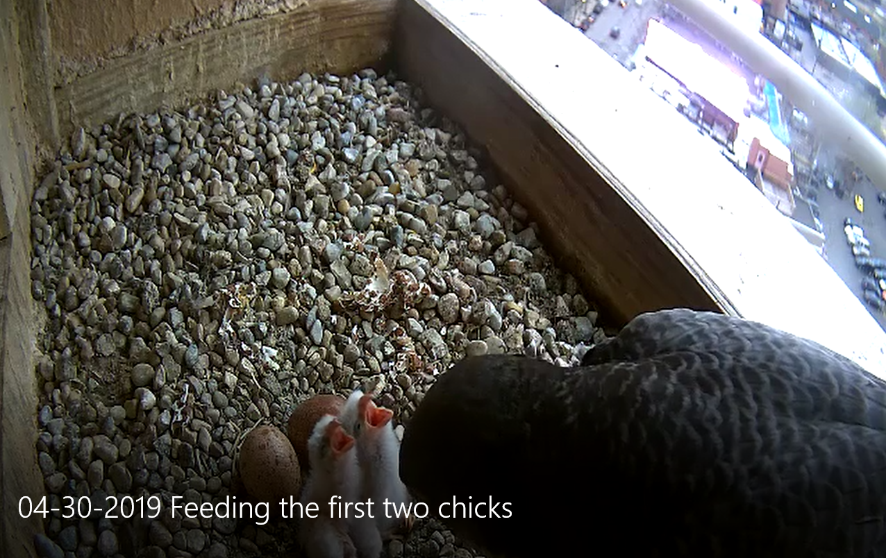 04-30-2019 Feeding the first two chicks