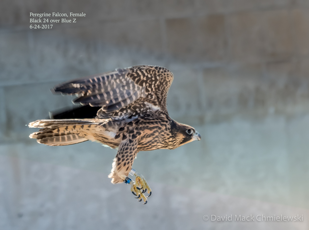 female juvie peregrine
