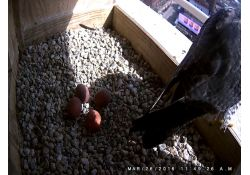 Kalamazoo Peregrine Rebecca and 4 eggs on 03-26-2016