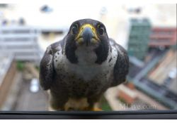Name picked for Peregrine falcon