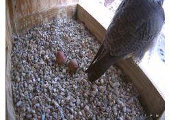 Peregrine Falcon & Two Eggs