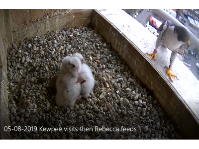 05-08-2019 Kewpee makes cameo appearance then Rebecca feeds chicks