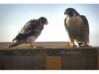 Peregrine Falcons ready to fly the coop