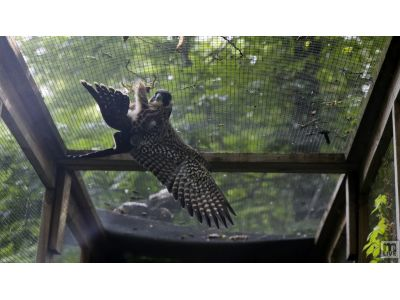 Peregrine Falcon Fledgling Training