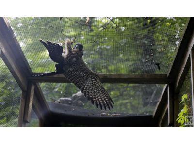 Peregrine Falcon Fledgling Training