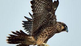 Kalamazoo Peregrine Falcons