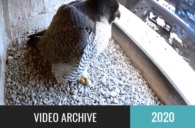 Watch the 2020 falcon cam!