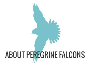 About Peregrine Falcons