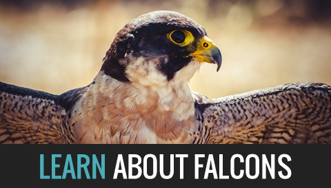 Learn about Falcons
