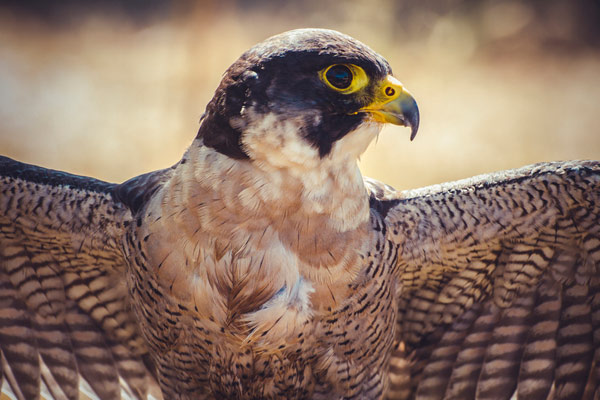 History of Peregrine Falcon