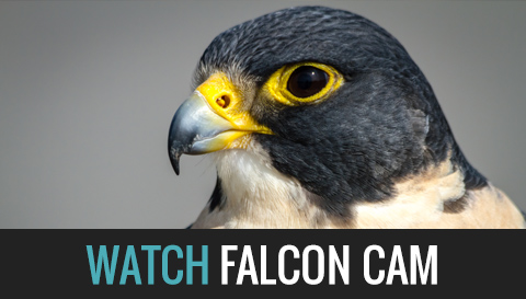 Watch the Falcon Cam